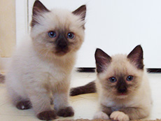 Pointed & Bi-color Ragdoll Kittens
